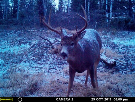Monster Whitetail Buck on Trail Camera